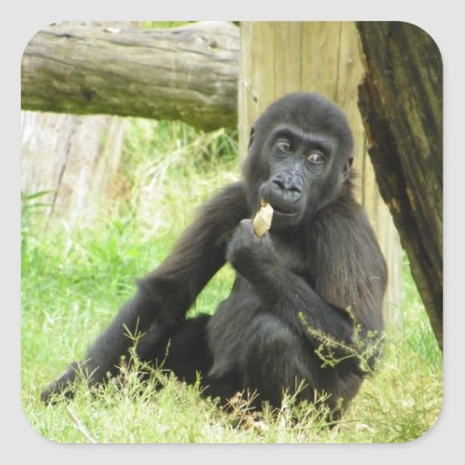 Baby Gorilla Snacking Square Stickers