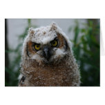 Baby Great-Horned Owl Cards