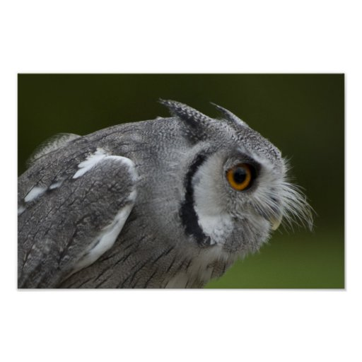 Baby Grey Owl Poster