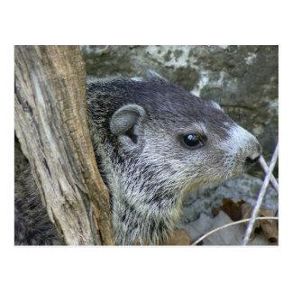 Baby Groundhog Postcard.