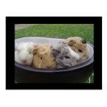 baby guinea pigs postcard