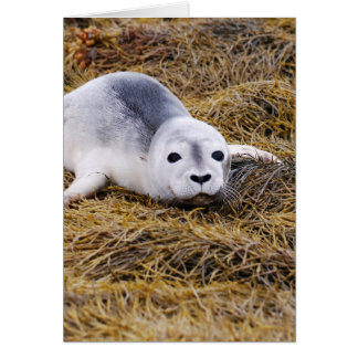 Baby Harbor Seal Greeting Card