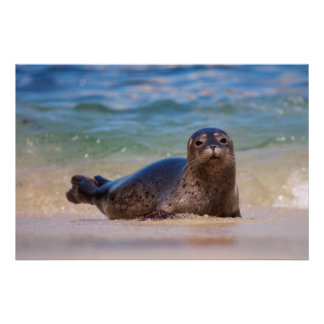 Baby Harbor Seal in Water Poster
