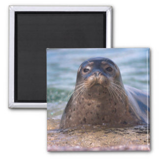 Baby Harbor Seal on the Beach Magnet