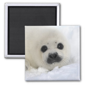 Baby Harp Seal 2 Inch Square Magnet