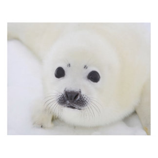 Baby harp seal pup on ice of the White Sea Panel Wall Art