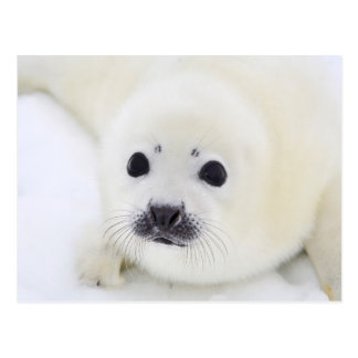 Baby harp seal pup on ice of the White Sea Postcard