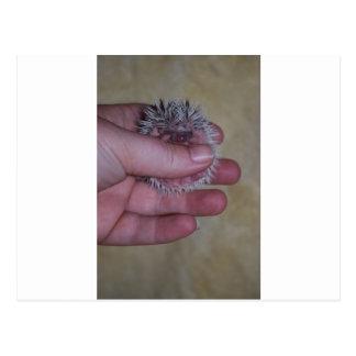 Baby Hedgehog in Hand Postcard
