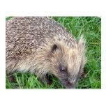 Baby Hedgehog Postcard