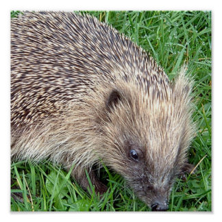 Baby Hedgehog Poster