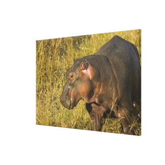 Baby Hippo out of water away from adults along Canvas Print