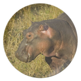 Baby Hippo out of water away from adults along Plate
