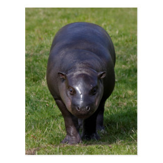 Baby Hippo Postcard