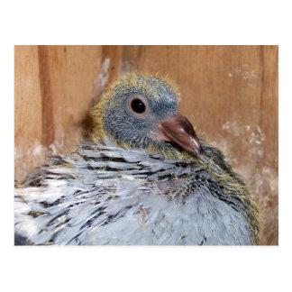 Baby Homing Pigeon Postcard