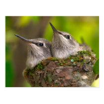 Baby hummingbirds postcard