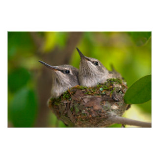 Baby hummingbirds poster