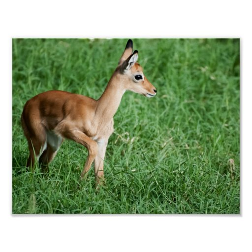 Baby Impala Poster