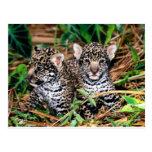 Baby jaguars post card