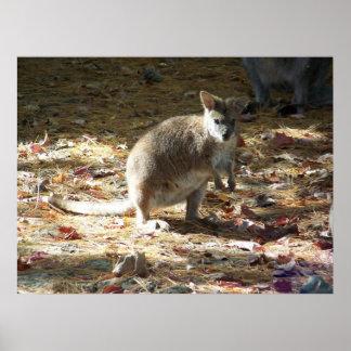 baby kangaroo poster