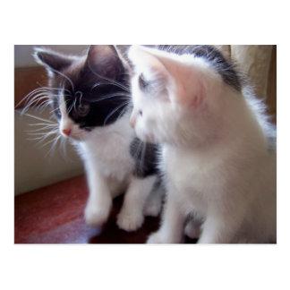 baby kitties Postcard