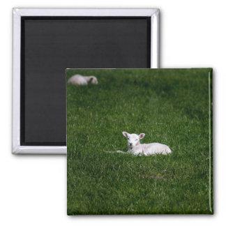 Baby Lamb Magnet