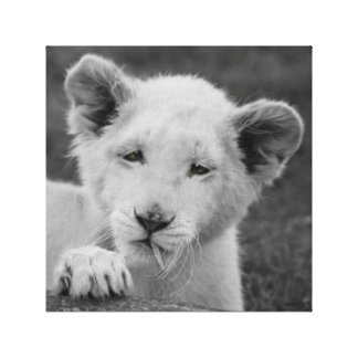 Baby lion cub  and the leaf canvas print
