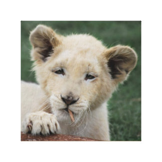 Baby lion cub  and the leaf canvas prints