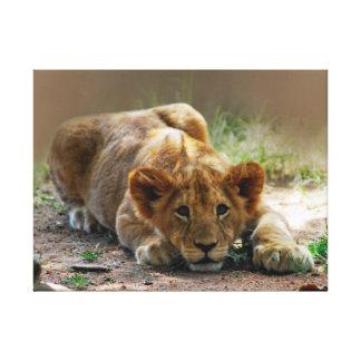 Baby lion cub canvas prints