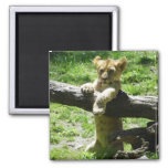 Baby Lion Cub On Branch 2 Inch Square Magnet