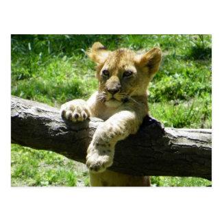 Baby Lion Cub On Branch Postcard
