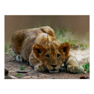 Baby lion cub poster