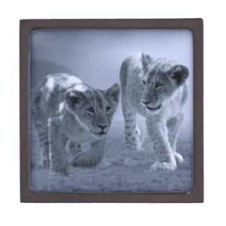 Baby lion cubs at play premium keepsake box