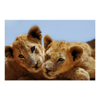 Baby lion love poster