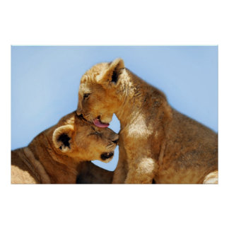 Baby lions love poster