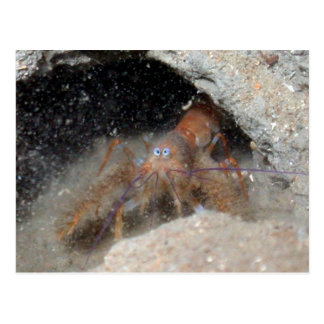 Baby Lobster with large eyes Postcard