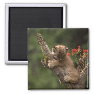 Baby Lynx Climbing 2 Inch Square Magnet