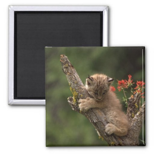 Baby Lynx Climbing Magnets