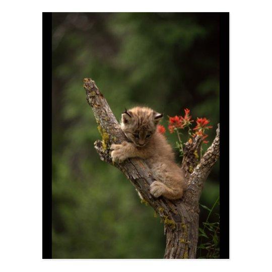 Baby Lynx Climbing Postcard