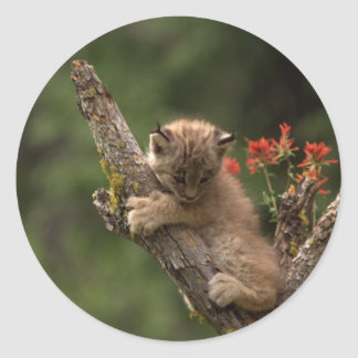 Baby Lynx Climbing Round Stickers