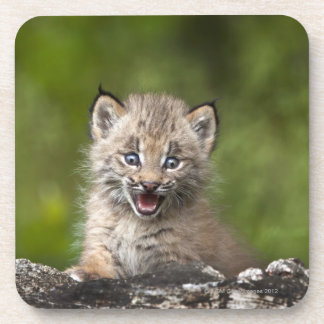 Baby Lynx (Lynx Canadensis) Looking Over A Coaster