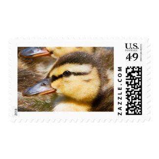 Baby Mallard Duck Postage Stamp