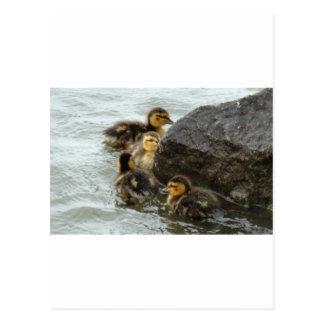 Baby Mallards Swimming around a Rock Postcard