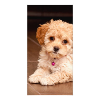 Baby Maltese poodle mix or maltipoo puppy dog Card
