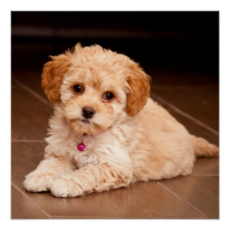 Baby Maltese poodle mix or maltipoo puppy dog Poster