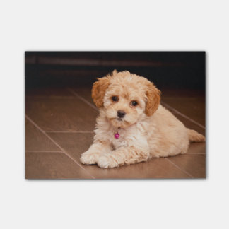 Baby Maltese poodle mix or maltipoo puppy dog Post-it® Notes