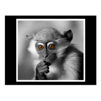 Baby Mangabey Monkey Postcard