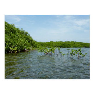 Baby Mangrove Trees Postcard