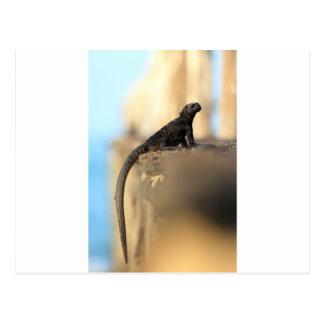 Baby marine iguana Galapagos Islands Postcard