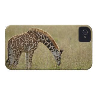Baby Masai Giraffe Giraffa camelopardalis Blackberry Bold Covers