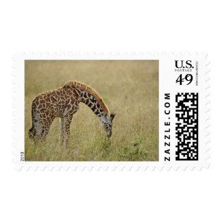 Baby Masai Giraffe Giraffa camelopardalis Stamp